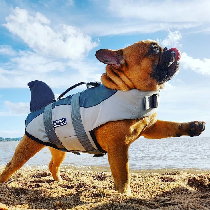 warning you can suffer a cuteness attack at any time frenchie shark