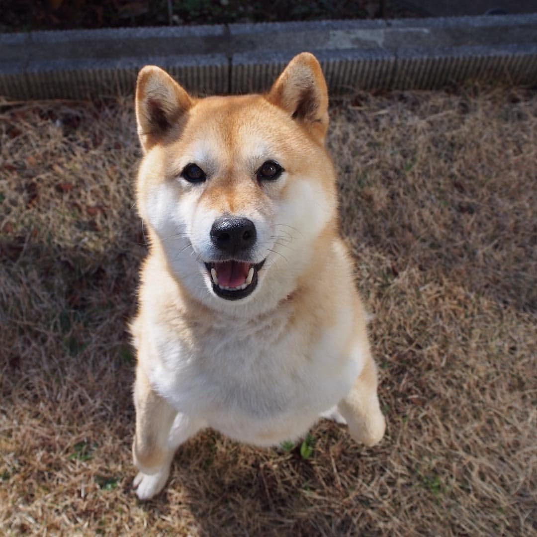 standing!見て見てー!立ったよー! #shiba #dog #komugi #shibe #柴犬