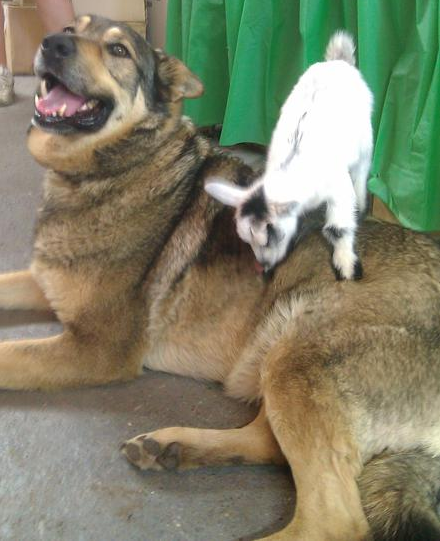 Nellie is an orphaned pygmy goat. She has found a