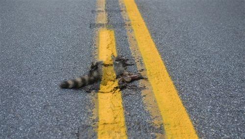 Pennsylvania road crew paints yellow line over dead raccoon