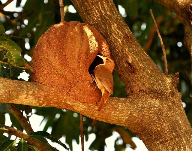 Foto joão-de-barro (Furnarius rufus) por Rodolpho Guedin | Wiki Aves - A Enciclopédia das Aves do Brasil
