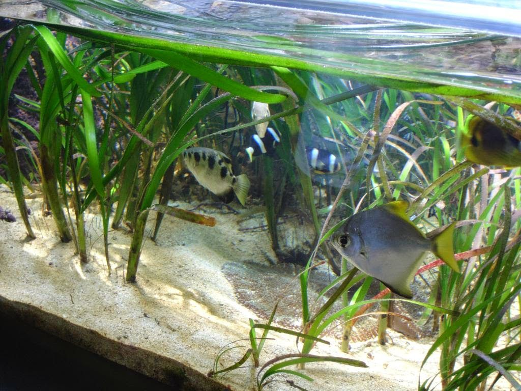 The fishes that you get to keep in a brackish water tank for Brackish water fish