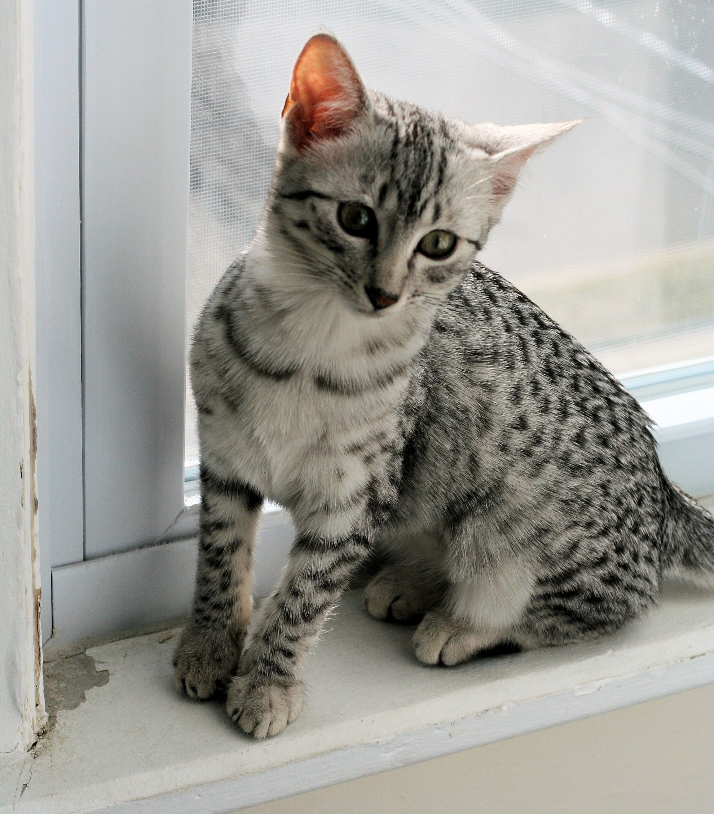 Egyptian Maus Cat Are A Small To Medium Sized Short Haired Cat Breed Along With The Bahraini Dilmun Cat They Are One O Egyptian Mau Kitten Photos Cat Breeds