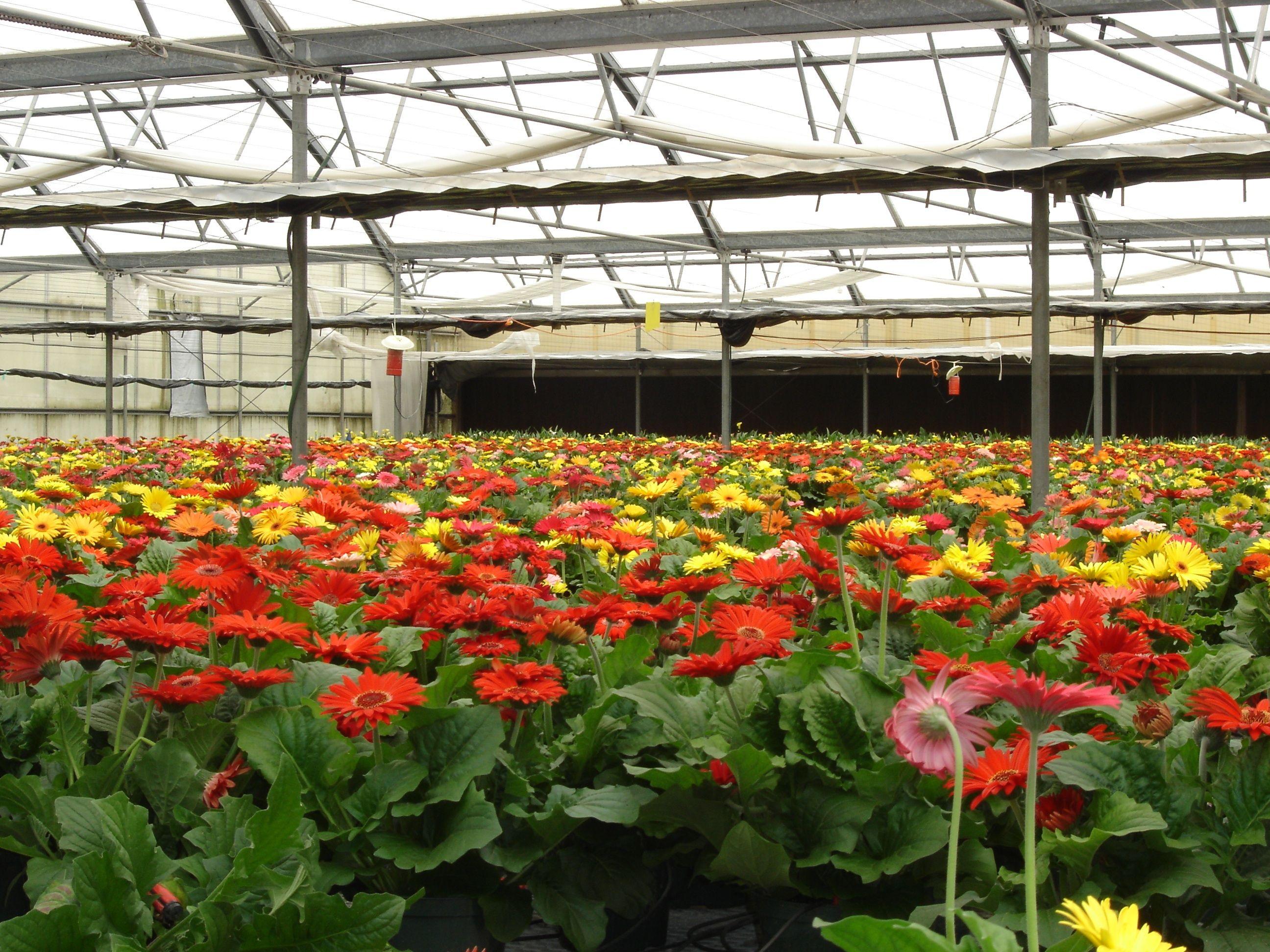 Pin By Klepac Greenhouses Inc On Gerbera Daisies Gerbera Daisy Gerbera Plants
