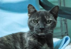 Valerie is an adoptable Domestic Short Hair Cat in Lunenburg, MA. Valerie, Female, 9 Years Old It's time to revamp my story and tell you the truth about me. The truth is that I have a lot of experienc...