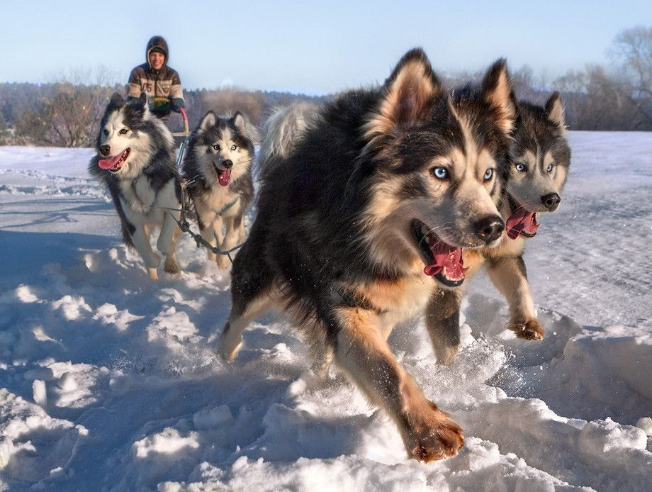 Siberian Husky Sled Dogs Dog Pictures Dogs Beautiful Dogs