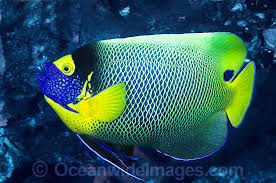 A Beautiful Pair Of Blueface Angelfish Photo By Wendy Wood Angel Fish Saltwater Angelfish Sea Animals
