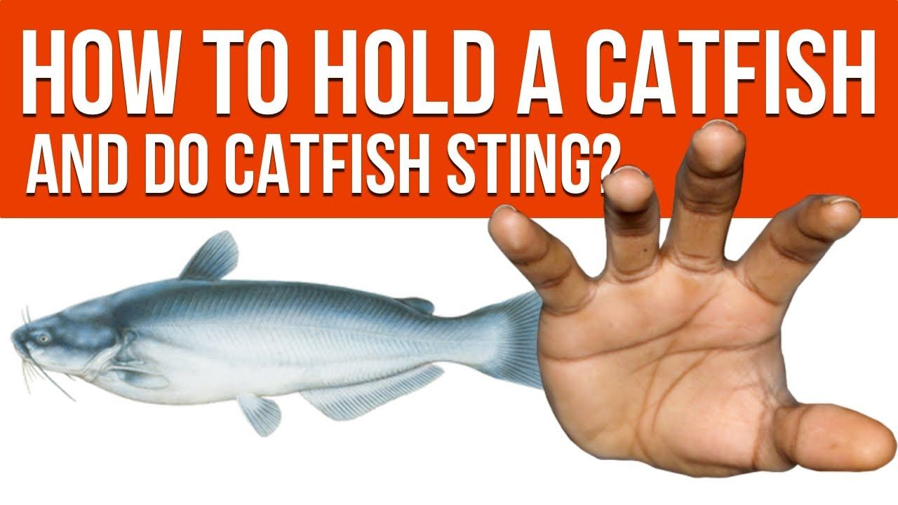 How To Hold A Catfish And Do Catfish Sting Fishing Tips Catfish Catching Fish