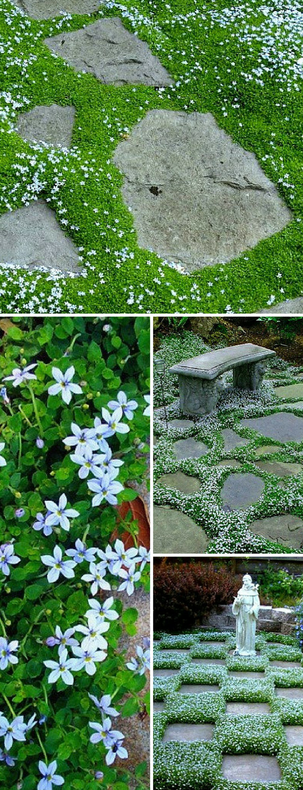 Blue Star Creeper makes everything around it look good. A sweet little creeper, it looks like a moss with tiny blue flowers, but is surprisingly tough. A great filler between stepping stones or fluff for a potting planting, it's a sweet filler and tolerates gentle traffic. You can step on it, but no football games. #ad #bluestarcreeper #seeds #steppingstonefiller #garden #gardening #outdoordecor #homedecor #flowerseed