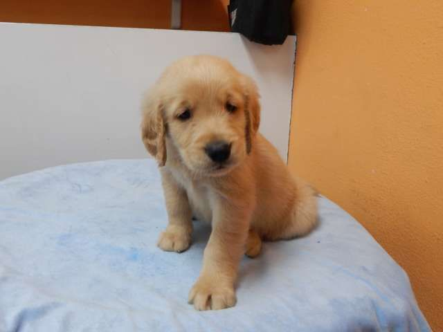 Golden Lady Golden Retriever Puppy Female Shots And De Worming