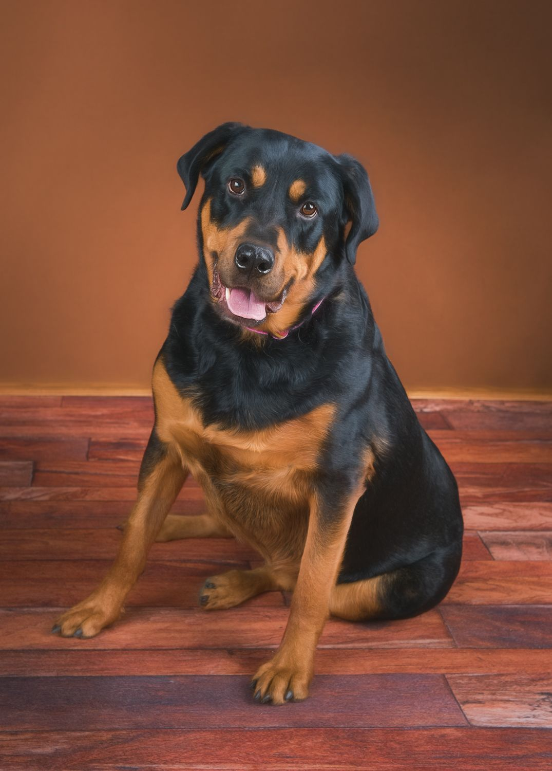 Rottweiler dog for Adoption in Evergreen, CO. ADN824846