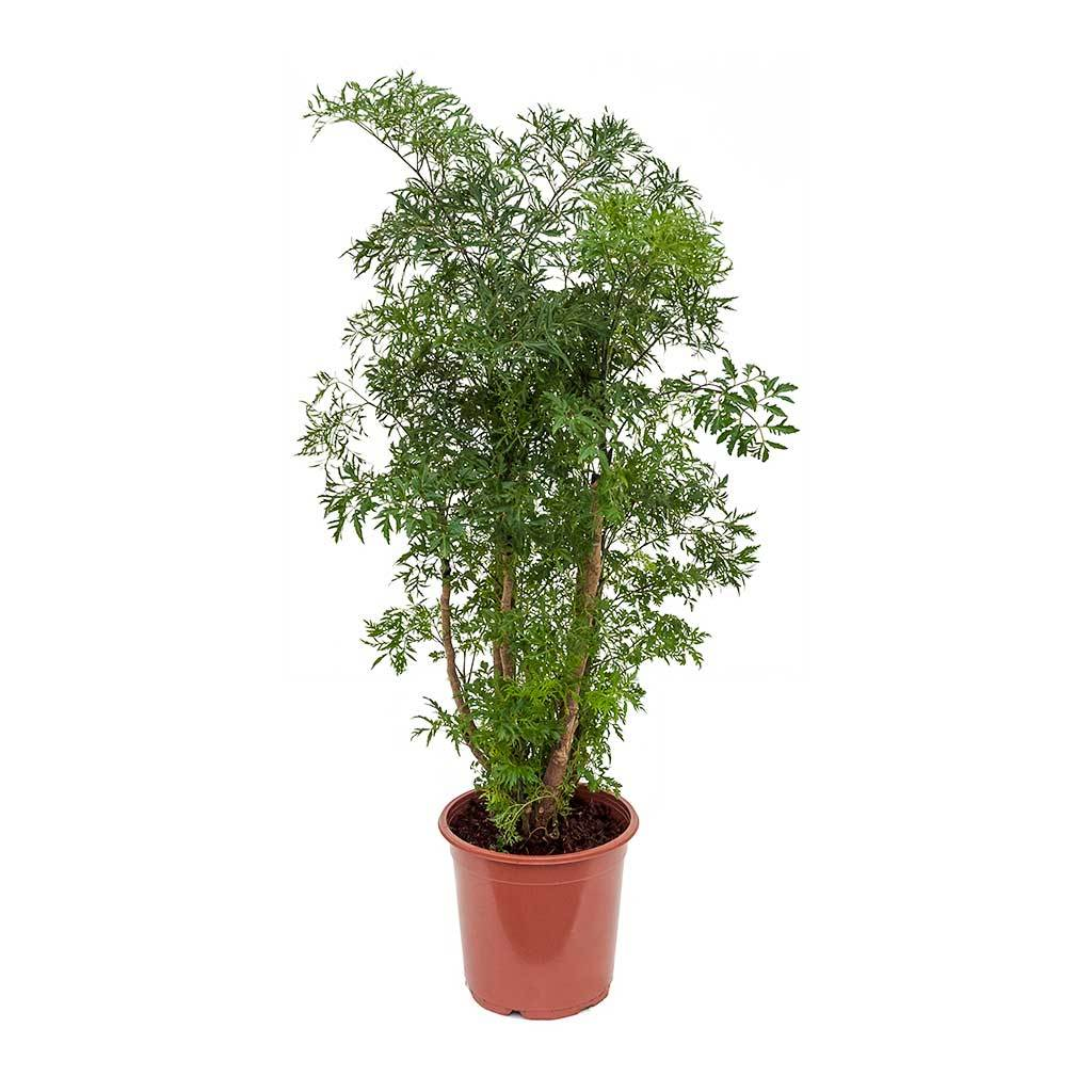 Polyscias Ming Aralia Ming Plants Indoor Plants Indoor Plant