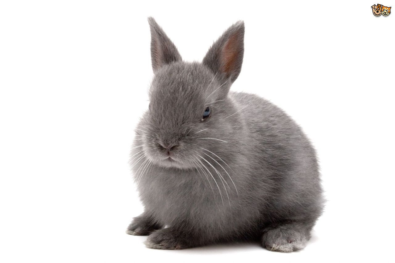 Netherland Dwarf Rabbit Breed Information, Facts, Photos, Care | Pets4Homes