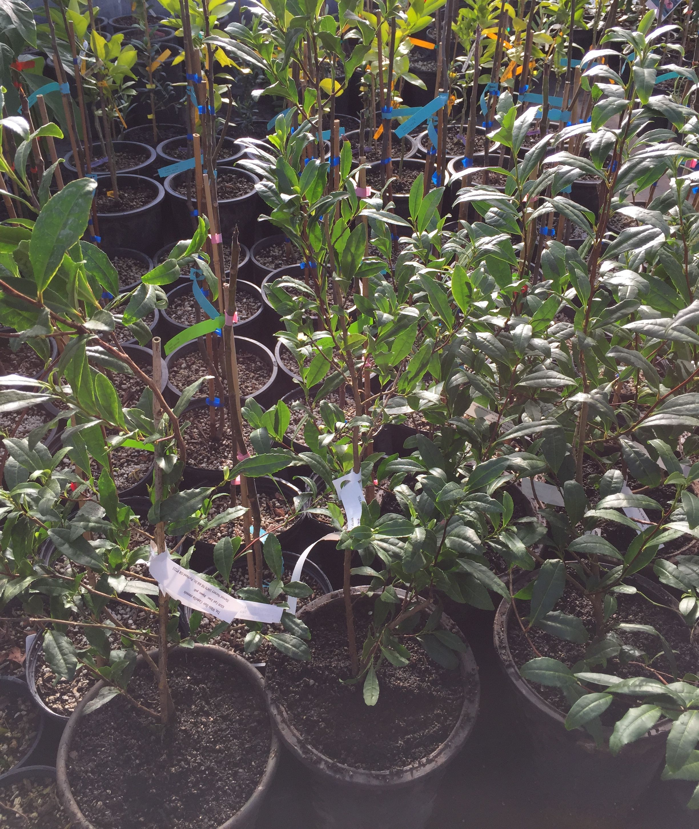 Harvest Nursery Of Portland Has Camellia Sinensis Or Tea This Edibles Focused You Can Grow Yourself I M So Excited To Get Some