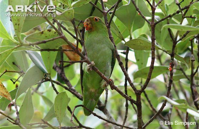 Brown-backed parrotlet feeding -endangered