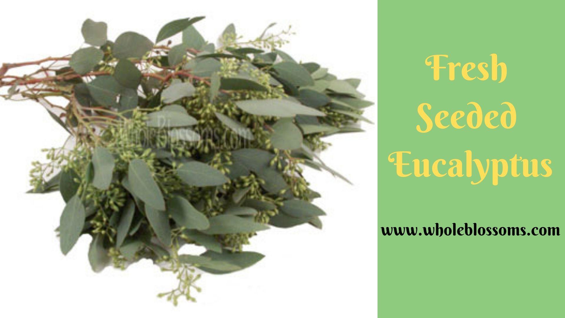 Seeded Eucalyptus Seeded eucalyptus, Eucalyptus, Seeds