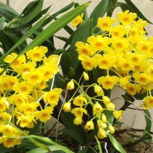 Dendrobium chrysotoxum 3