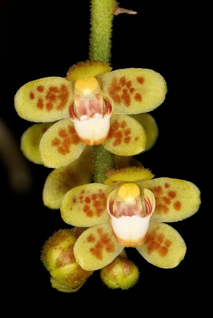 Chiloschista Usneoides Miniature Orchids Orchid Flower Beautiful Orchids