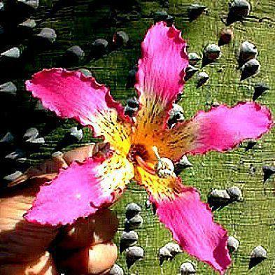 Chorisia speciosa Silk Floss Tree, $1.99