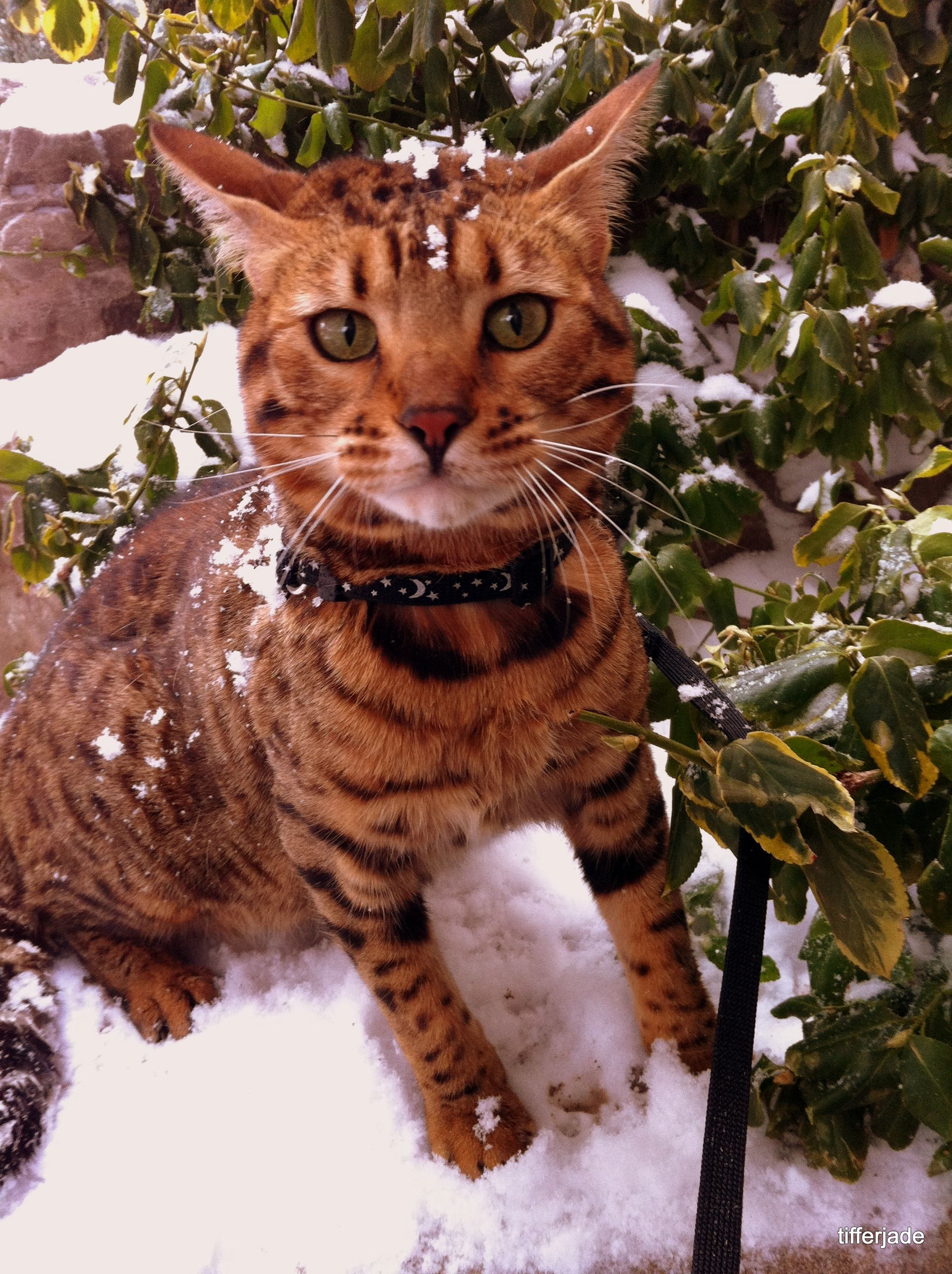My Cat Farrah Out In The Snow :) #bengal #snow (With