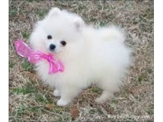 White and black teacup Pomeranian Puppies for adoption #teacuppomeranianpuppy White and black teacup Pomeranian Puppies for adoption - Animals - Abbeville - Georgia - announcement-60579search #teacuppomeranianpuppy