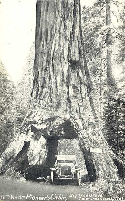 Pioneer tunnel tree. The 1000+ year old sequoia tree fell yesterday during an intense storm in California. It stood over 130 years since a tunnel was drilled through its base in the late 1800s. RIP PIONEER TUNNEL TREE. THE 1000+ YEAR OLD SEQUOIA TREE FELL YESTERDAY DURING AN INTENSE STORM IN CALIFORNIA. IT STOOD OVER 130 YEARS SINCE A TUNNEL WAS DRILLED THROUGH ITS BASE