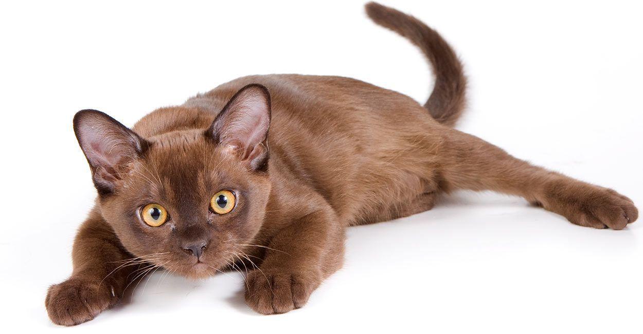 10 Of The Cutest Cat Breeds Burmese Cat Cat Breeds