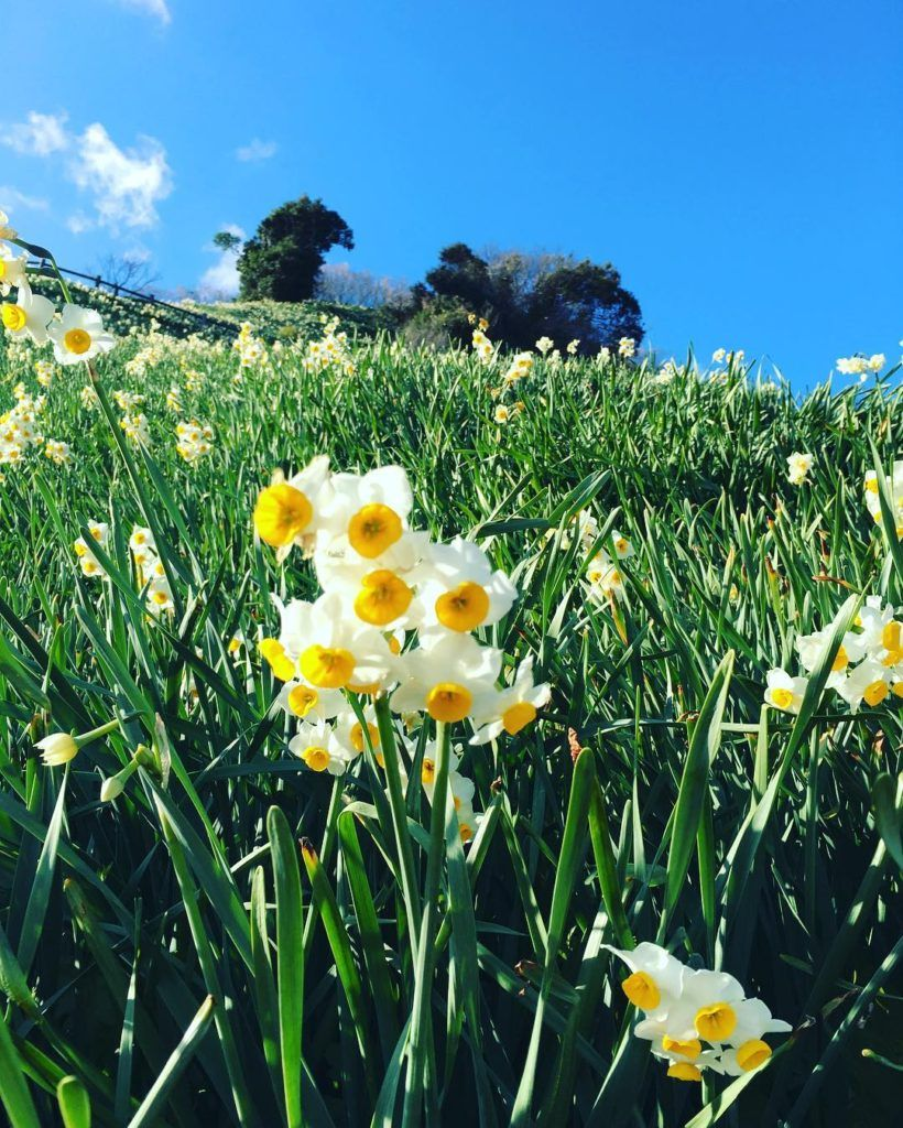 Nada Kuroiwa Narcissus Field Hyogo Japan Narcissus Pretty Plants Daffodils Planting