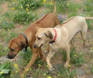 Ridgebacks Rhodesian ridgeback puppies