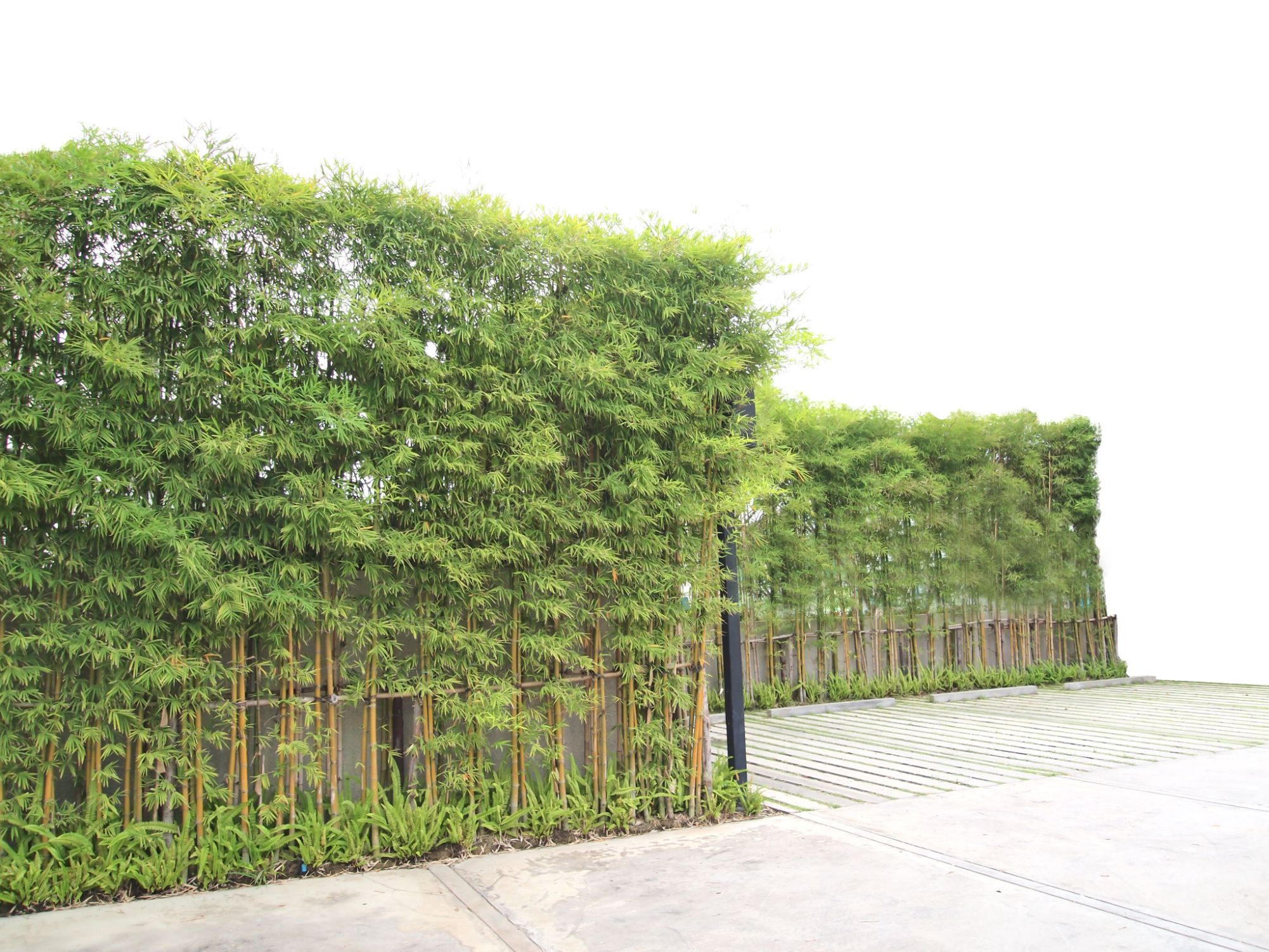 Bamboo Trees Creating Beauty Around A Concrete Wall Privacy Plants Landscaping