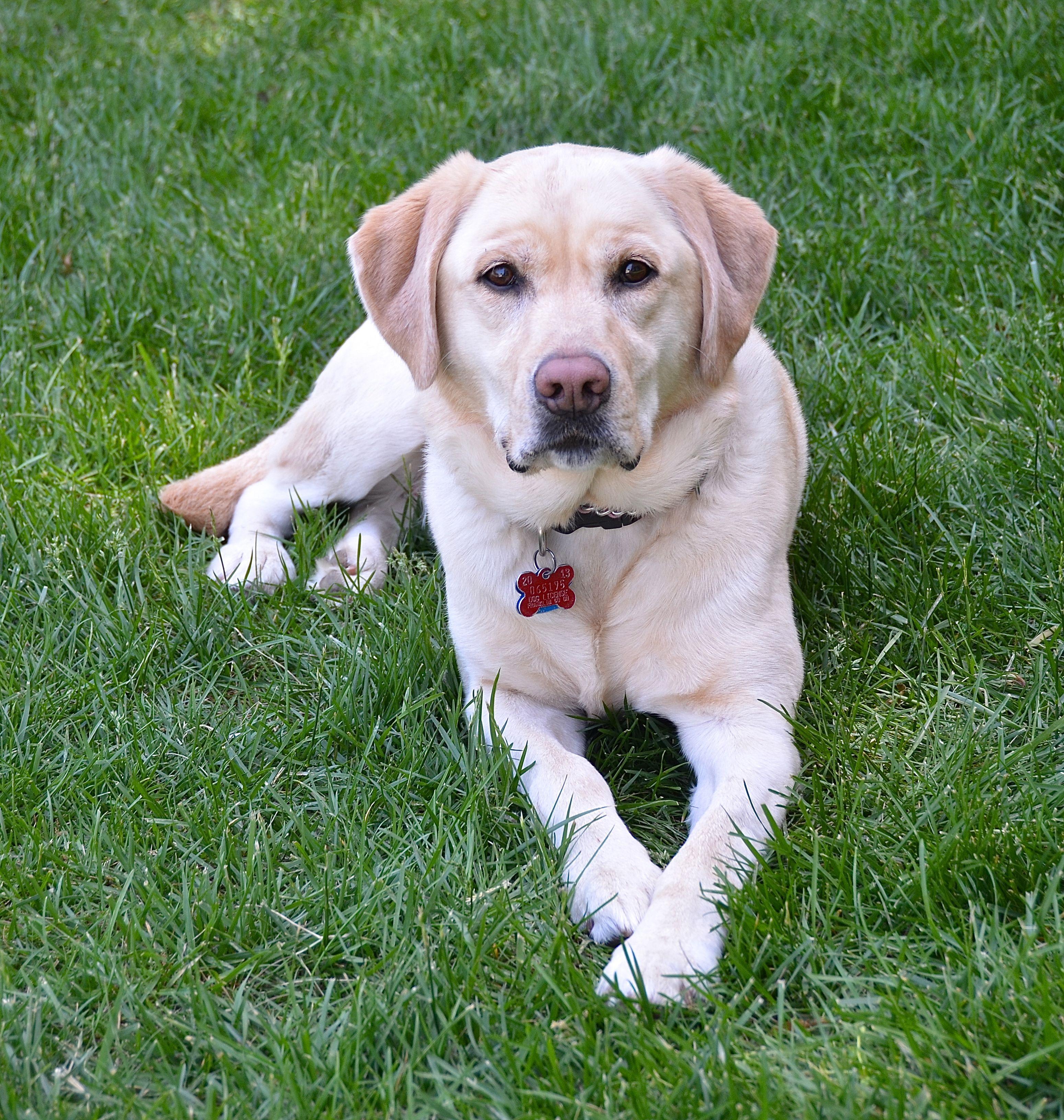 Such A Serious Face Yellow Labrador Retriever Lab Dogs Labrador Retriever Labrador