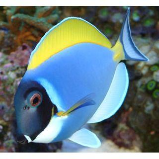 Powder Blue Tang Fish Acanthurus Leucosternon Saltwater Aquarium Fish Sea Fish Colorful Fish