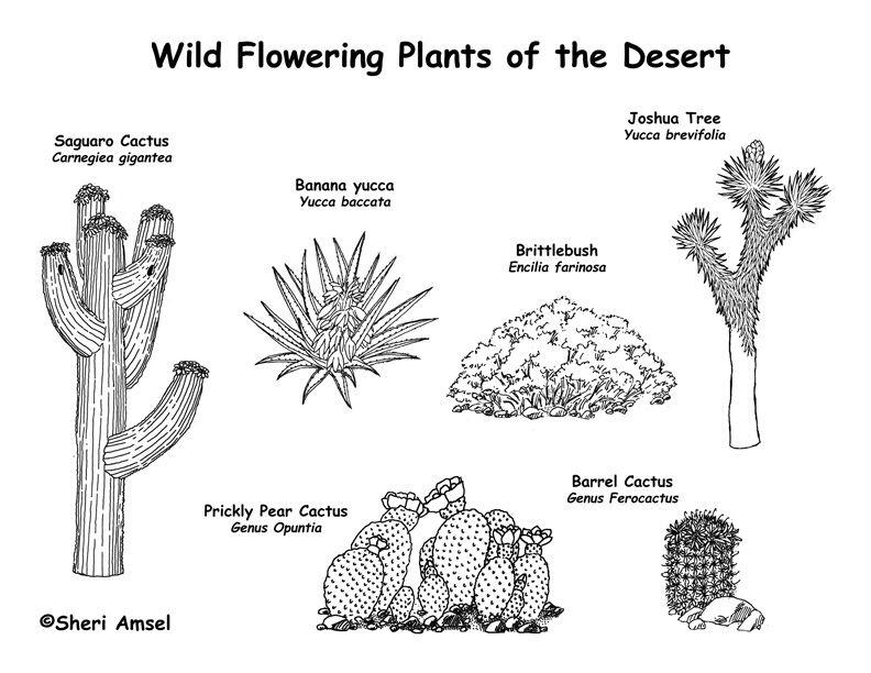 Desert Wildflowers Cactus Labeling Page Exploring Nature Educational Resource Desert Animals Coloring Desert Animals And Plants Desert Animals