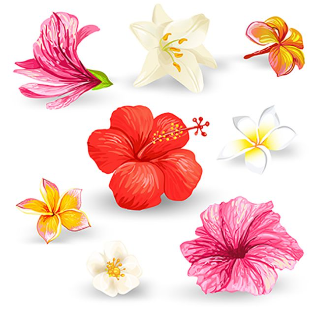 Set Of Vector Illustrations Of Tropical Hibiscus Flowers Vector And Png Flower Illustration Hibiscus Hibiscus Flowers
