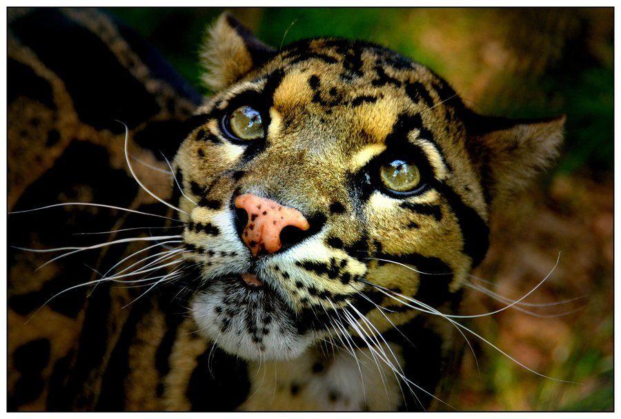 Clouded Leopard by on deviantART