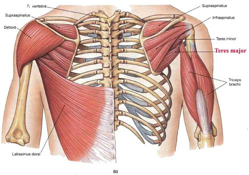 teres-major-2.jpg (500×351) | anatomy | Pinterest | Anatomy and ...