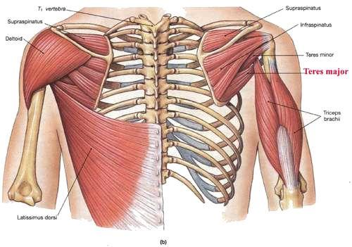 teres-major-2 (500×351) | anatomy | pinterest | anatomy and, Human Body