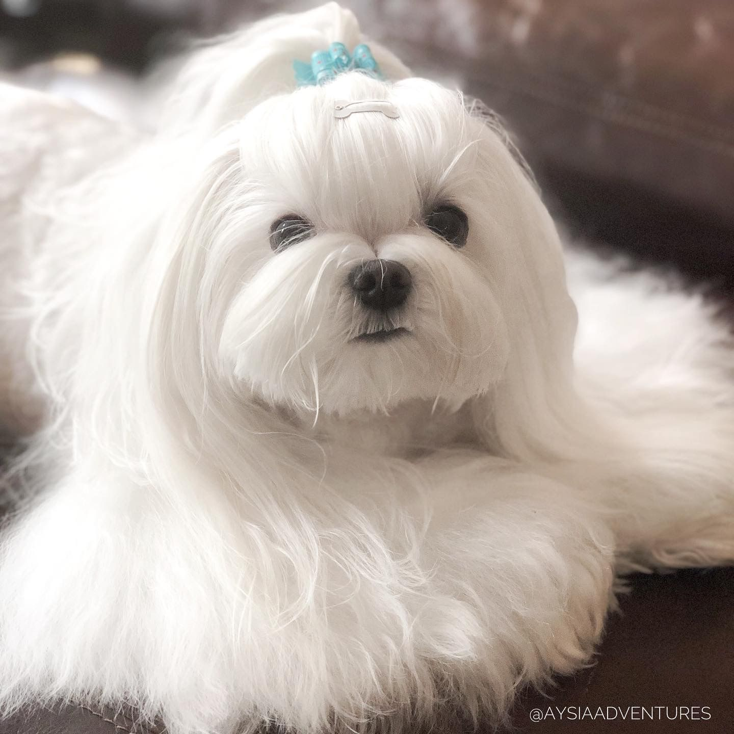 Maltese By Starlingale Shelton Cute Dogs And Puppies