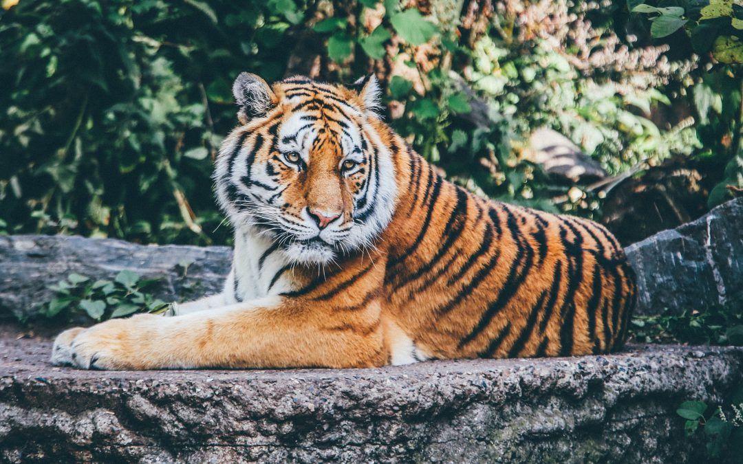 Mentale Bilder Erzeugen Erwecke Den Tiger In Dir Raubtier Gepardin Bilder