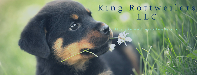 How Much does a Quality Rottweiler Puppy Cost Rottweiler