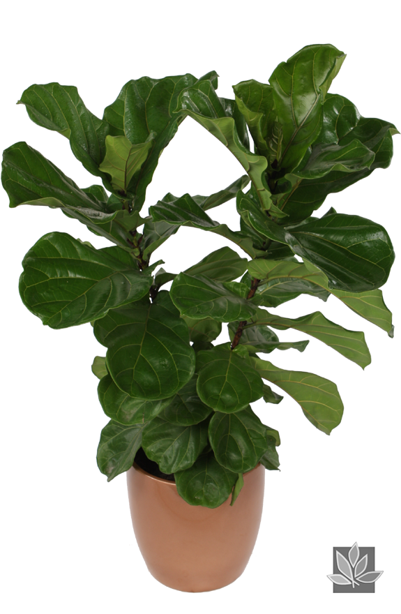 ficus lyrata bush indoor tree for the home pinterest ficus indoor trees and office plants. Black Bedroom Furniture Sets. Home Design Ideas