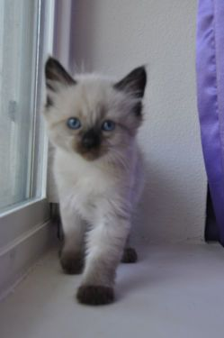Adorable Siamese And Balinese Kittens Due Around Christmas Balinese Cat Kittens Oriental Cat
