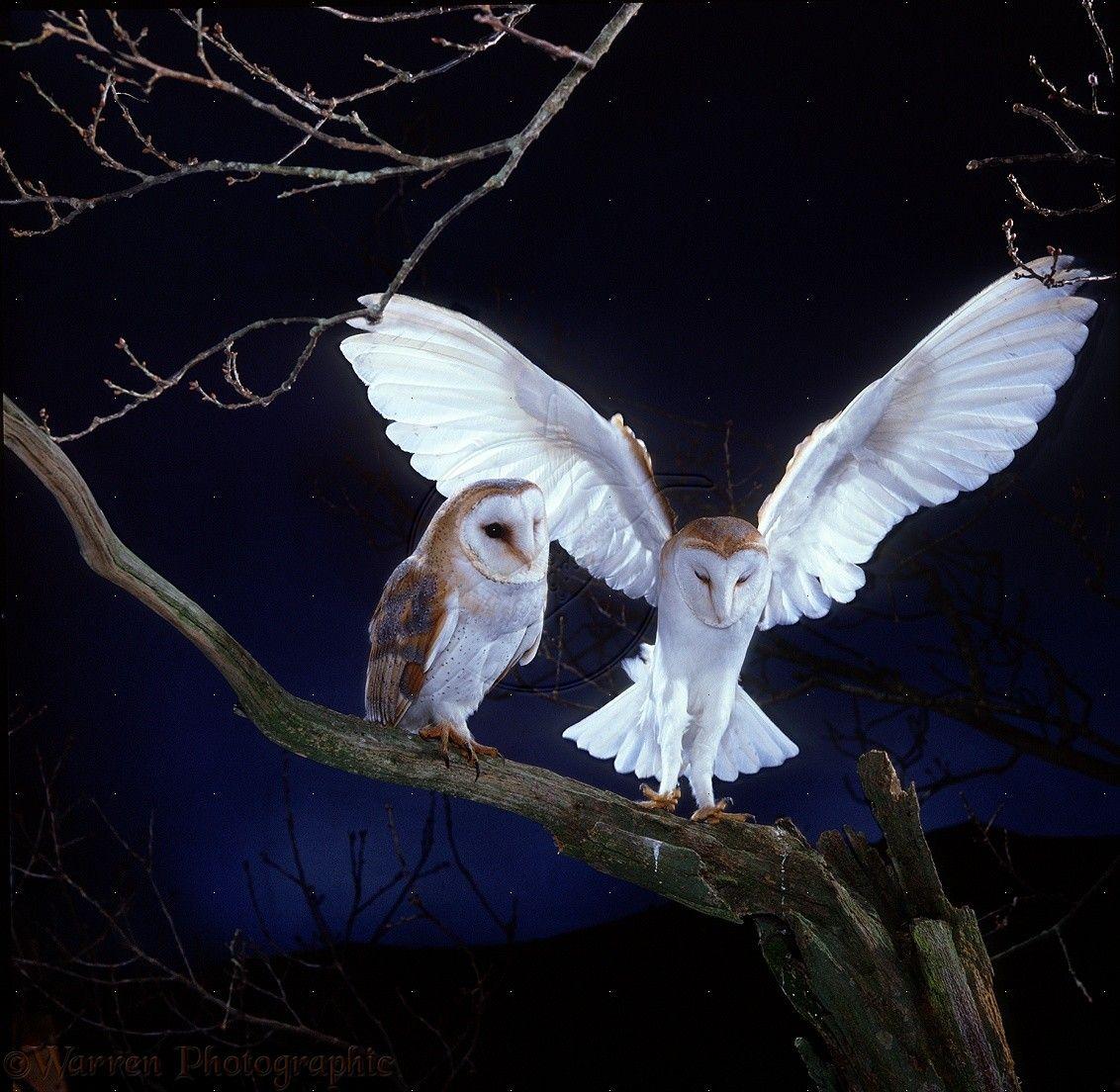 images of owls   WP13688 Barn Owl ( Tyto alba ) pair, male alighting beside female ...