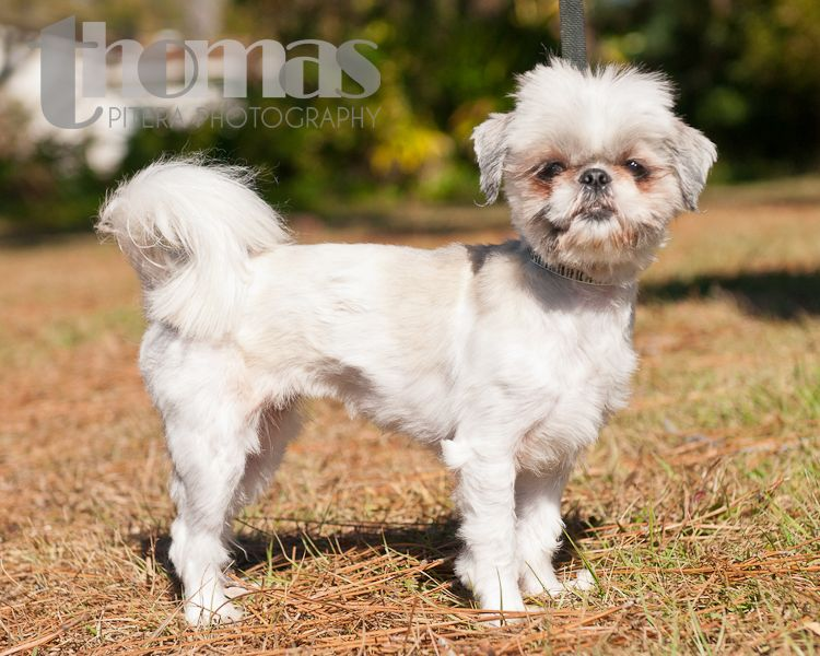 Lulu The Shih Tzu Maltese Mix At Pet Rescue By Judy Http Www Petrescuebyjudy Com Animals Detail Animalid 4186186 Puppy Pictures Pets Mixed Breed