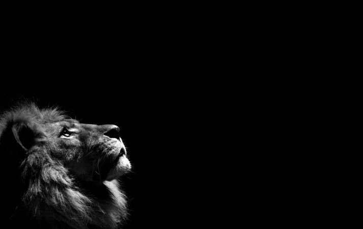 Lion Black And White Android Hd Wallpapers Hewan