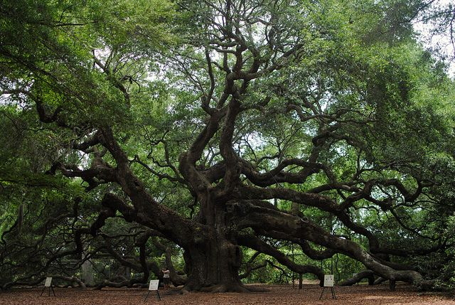 Angel Oak in Charleston, South Carolina. Estimated to be over 1,400 years old.