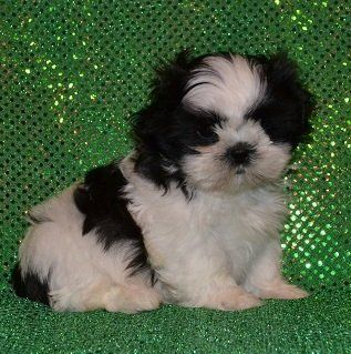 Bingo Is A Male Shih Tzu Puppy For Sale At Puppyspot Call Us Today
