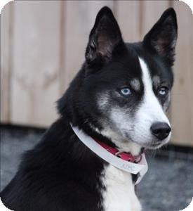 Adopted Quakertown Pa Husky Basenji Mix Meet Mia A Dog For
