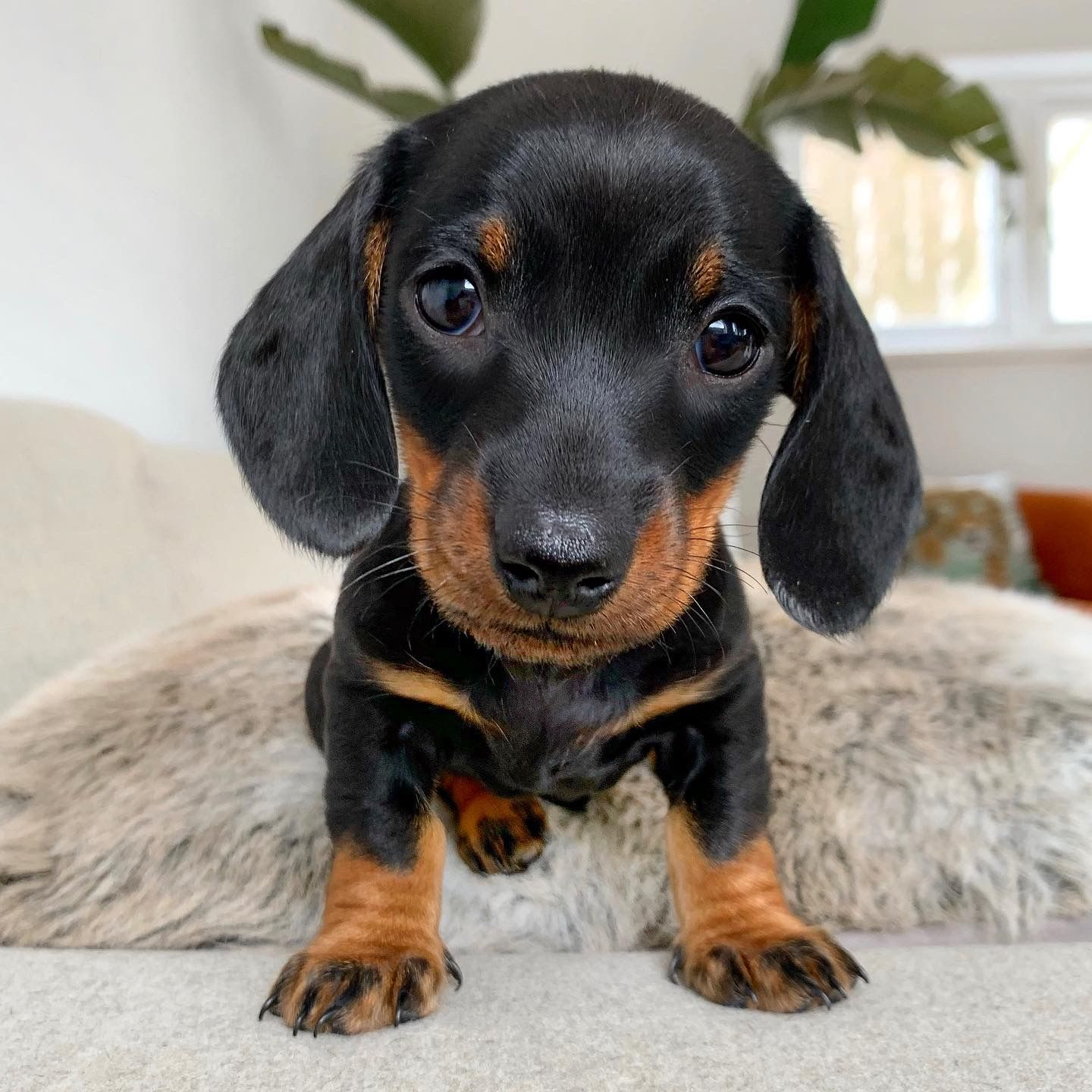 Pin By Lisa J On Dachshunds In 2020 Puppies Dachshund Puppies Cute Little Animals