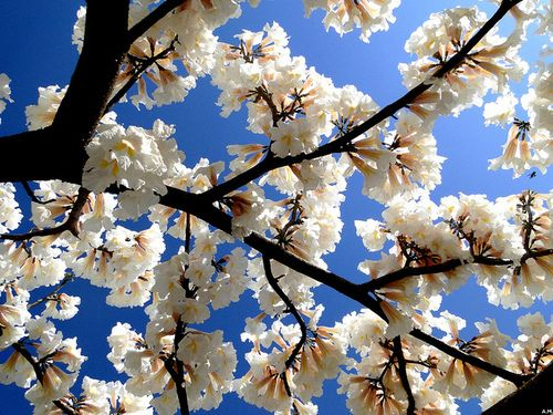 Bloom Blossom White Cherry Blossom Look At The Sky